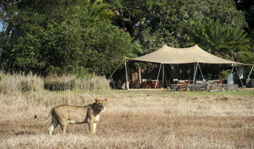 Lion passing in front of Busanga Bush Camp