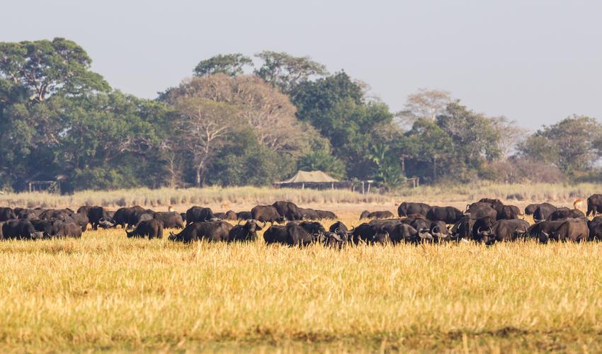 Buffalo at Busanga Bush Camp