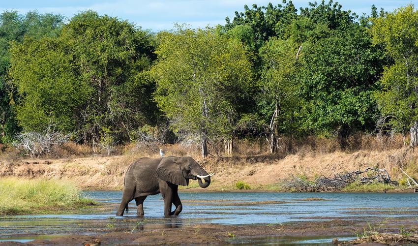 Elephant crossing a shallow section of the Zambezi River