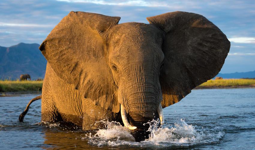 Golden hour elephant