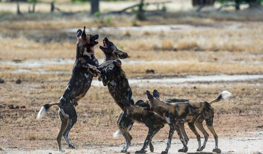 Playful wild dogs