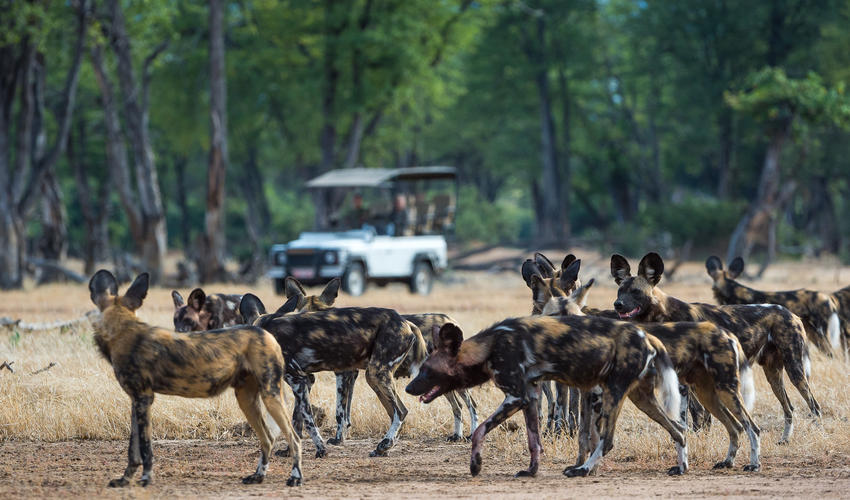 Wild dog pack preparing for a hunt