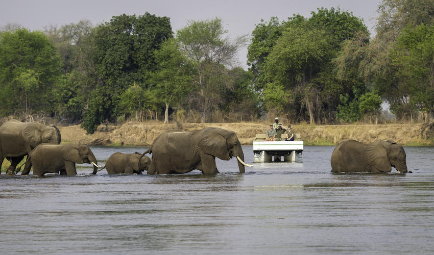 Elephant are regularly seen from the pontoon as they move across the Zambezi