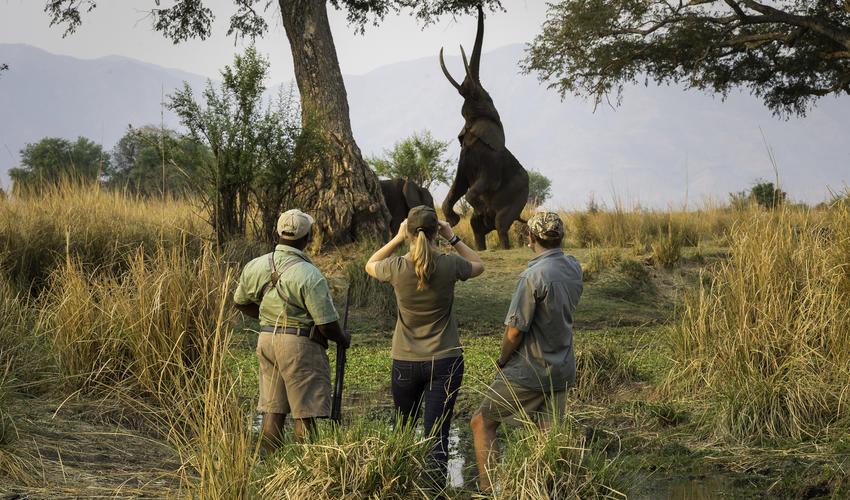 Elephant feeding on ana tree pods