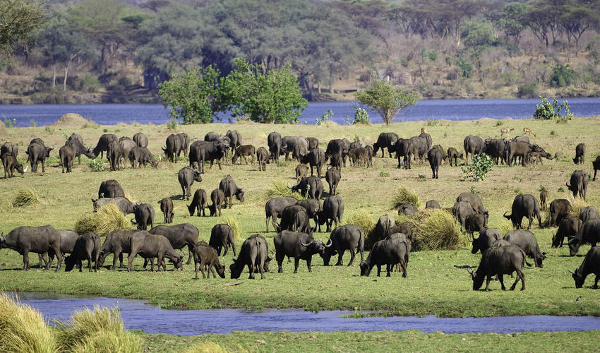 Buffalo graze on an island in the Zambezi River