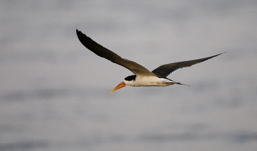 African skimmers require pristine habitats to successfully breed