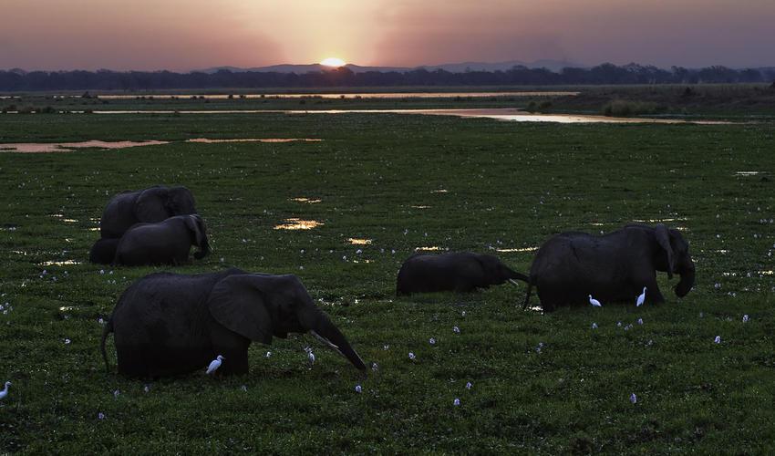 African elephant feeding in the floodplain