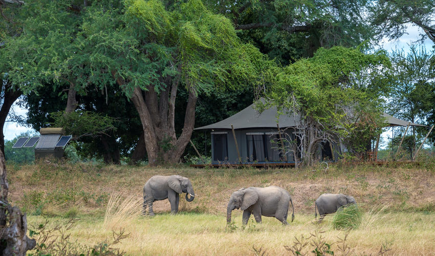 Elephant feeding on the floodplain in front of a guest tent