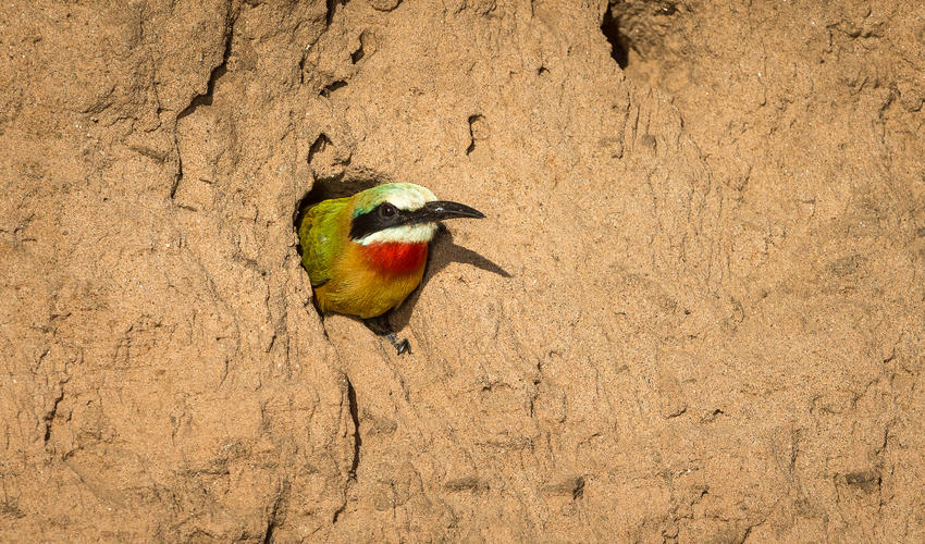 White-fronted bee-eater on the banks of the Zambezi River