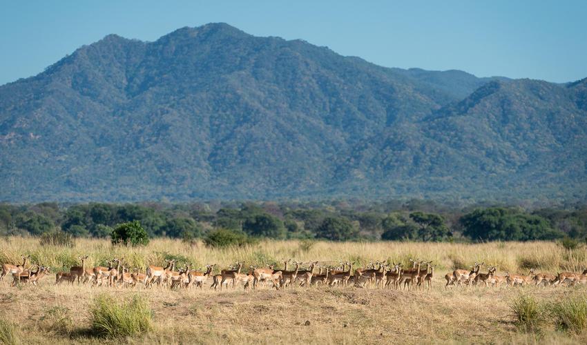 Impala flourish in Mana Pools National Park
