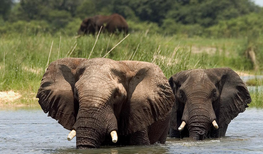 Elephants slowly crossing the river