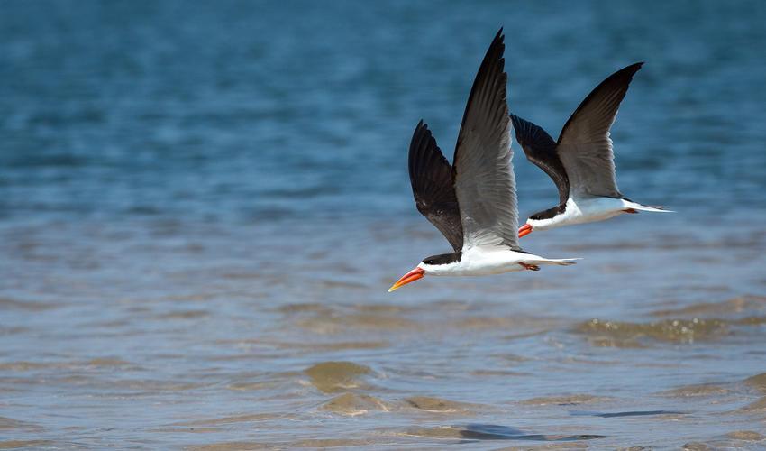 African skimmer pair
