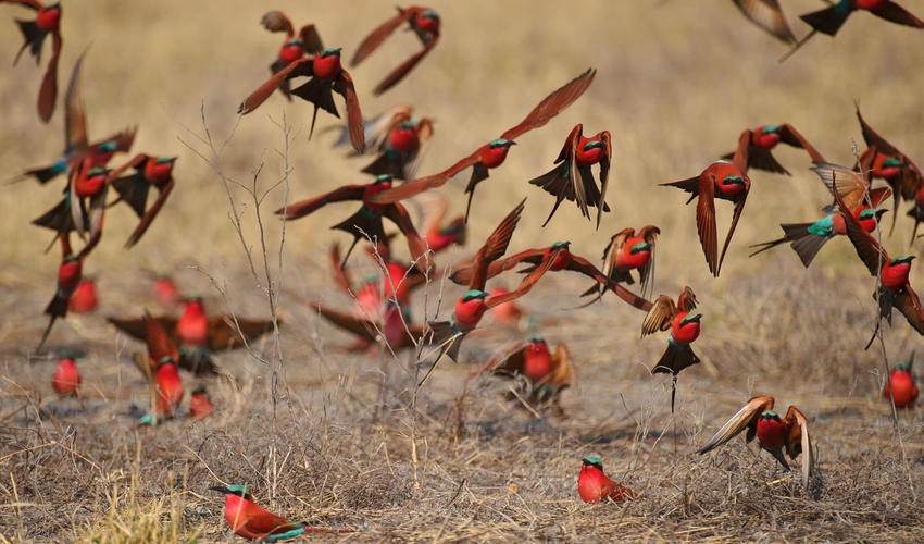 Migratory southern carmine bee-eaters nest on the Linyanti Concession during breeding season