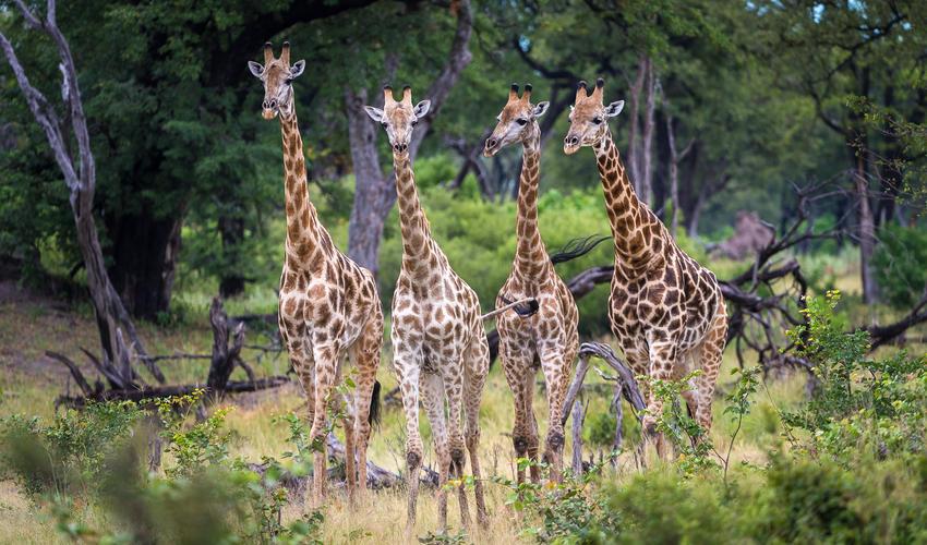 Giraffe make their way through the woodland