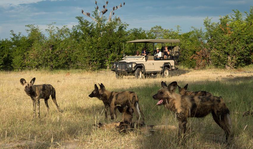Wild dog pack near Kings Pool
