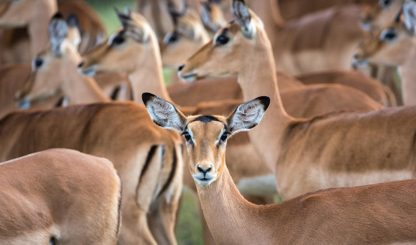 Impala are abundant in the Linyanti