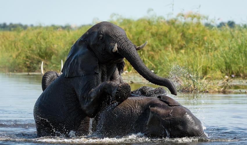 Elephant herd enjoying a swim in the Linyanti River