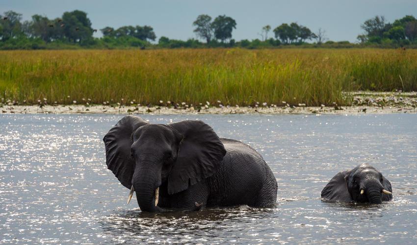 Elephant slowly cross the waterways