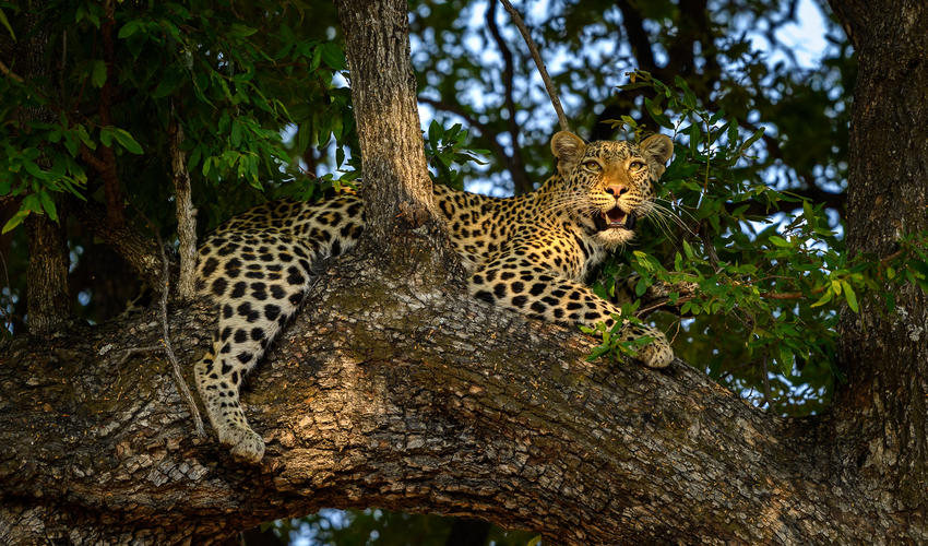 Leopard are regularly seen on the Linyanti Concession