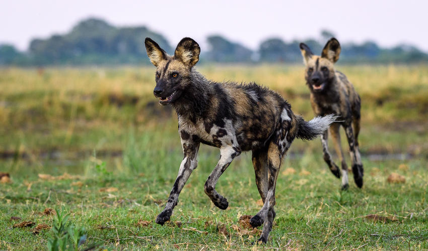 The Linyanti is famous for its amazing wild dog sightings