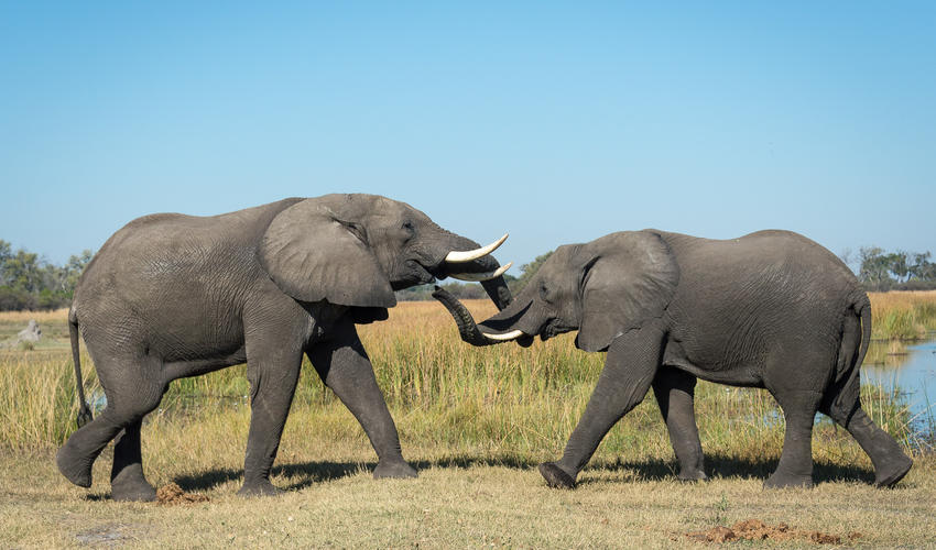 Elephants tussle in the Linyanti