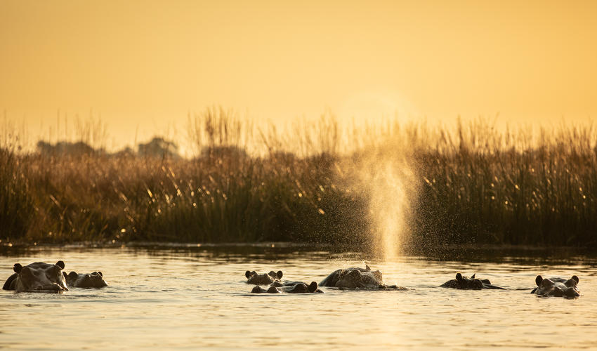 Hippos at Sunset Near Selinda Camp