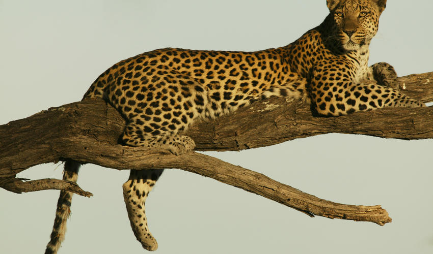 Selinda Reserve Leopard