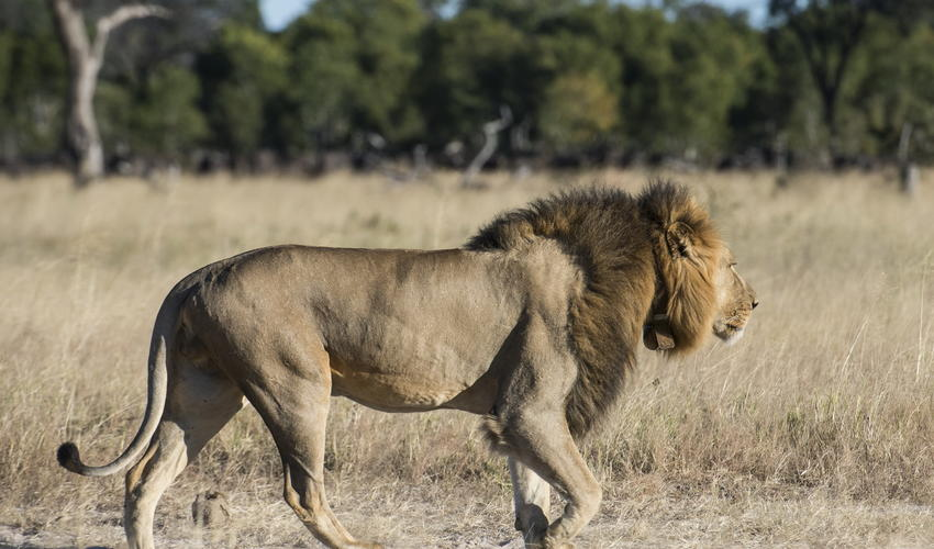 Hwange male lion