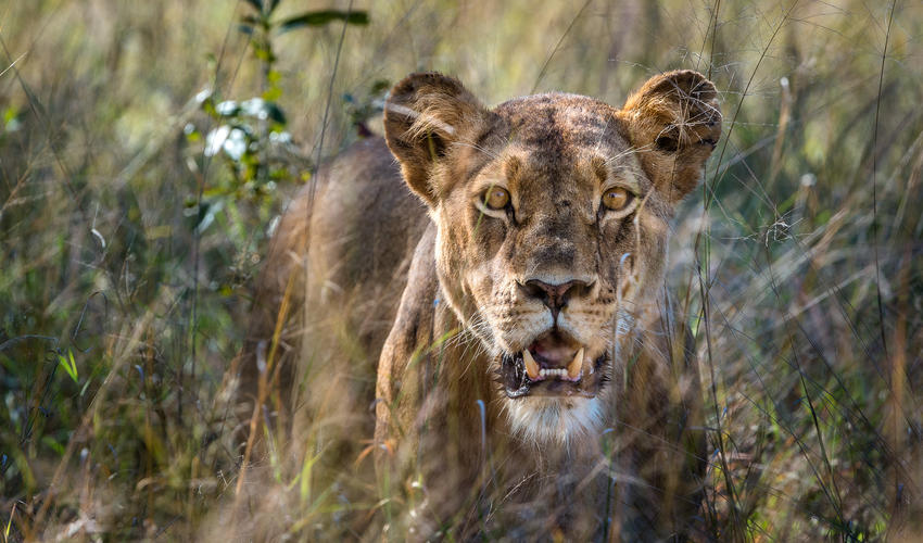 Alert Hwange lioness