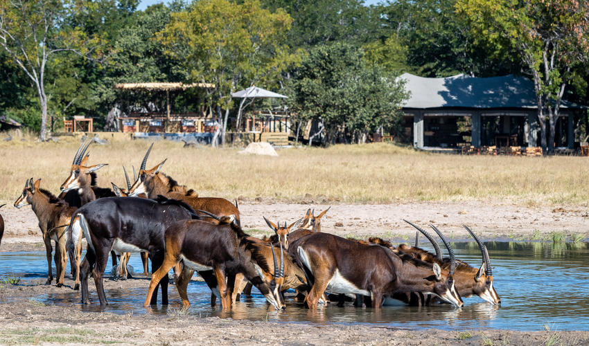 Impressive herd of sable at the waterhole in front of camp