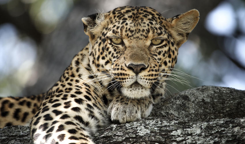 A leopard called Pula
