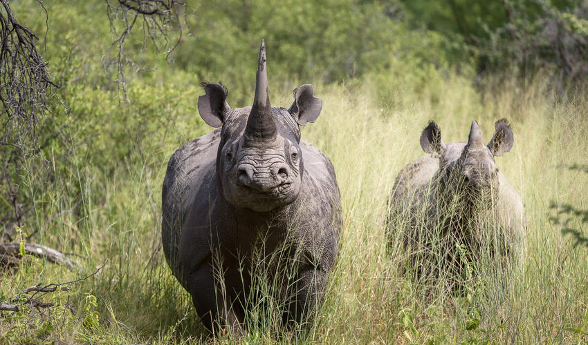 A special sighting of a black rhino and calf