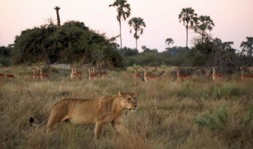 Nonchalant lioness
