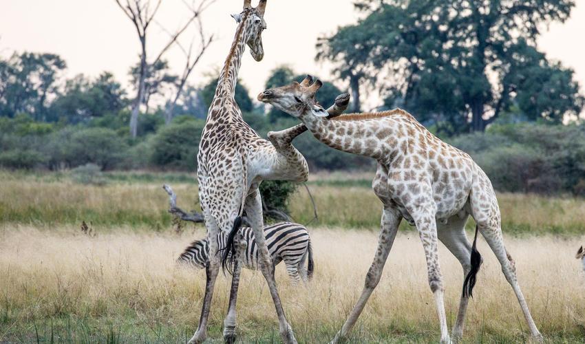 Giraffe tussle for dominance