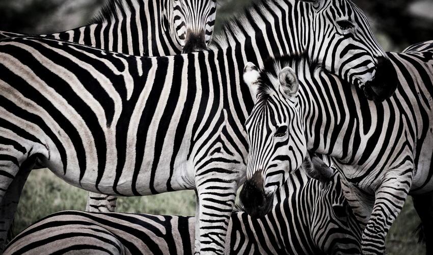 A dazzle of zebras