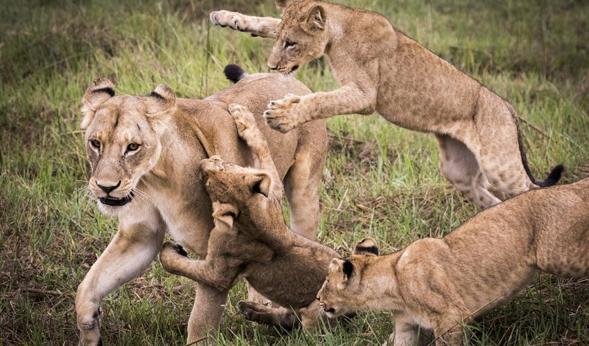 Playful lion cubs with mom