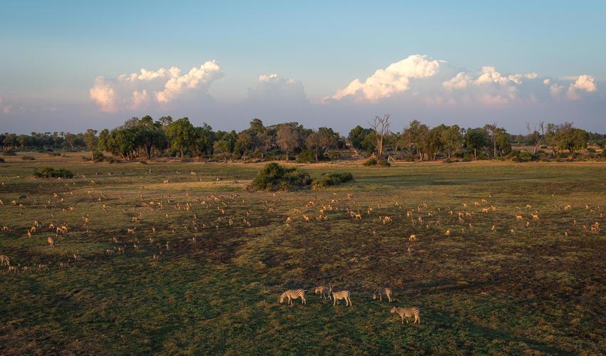 Mixed species graze on Mombo's floodplain