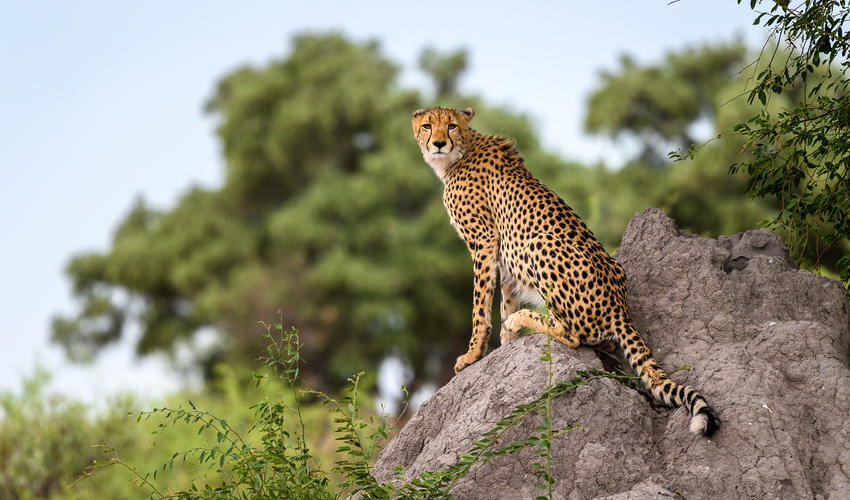 Termite mounds make great vantage points for cheetah