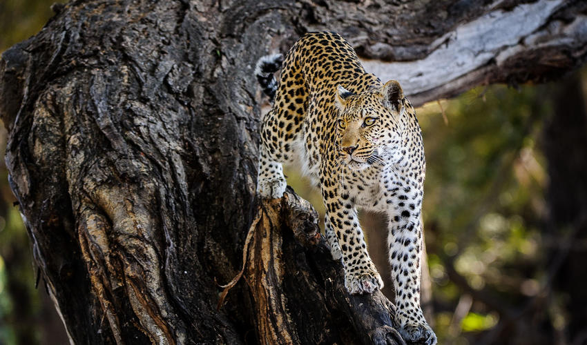 Leopard are regularly sighted in the area