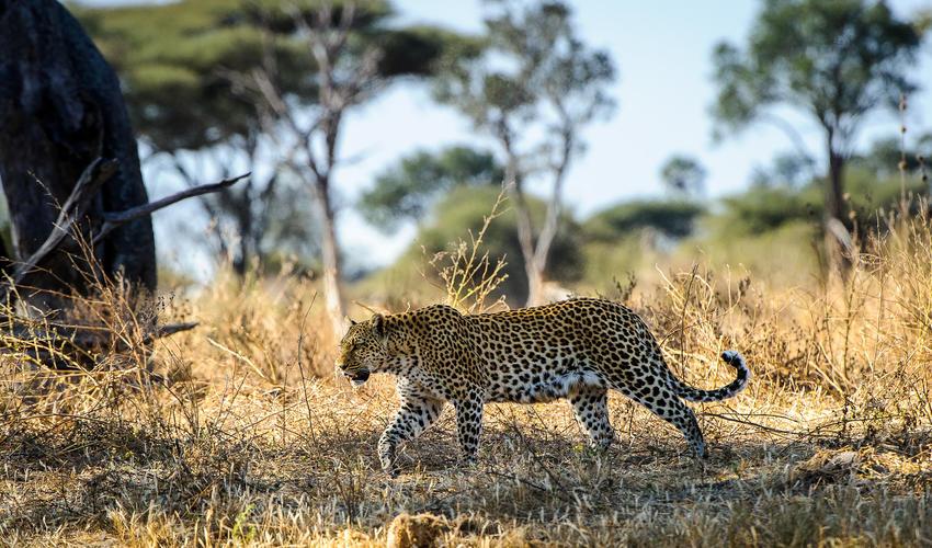 Great sightings of leopard in the open
