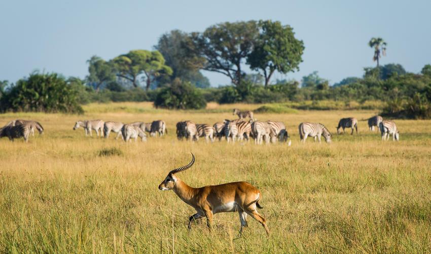 Lechwe and large herd of zebra