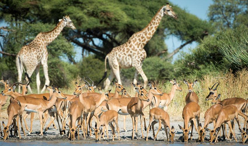 A classic Mombo sight: large mixed herds of giraffe and impala