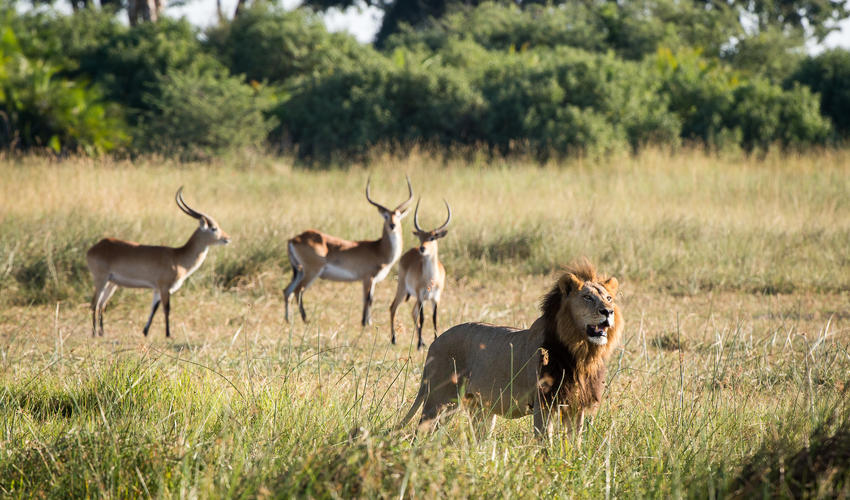 Lion and lechwe on the alert