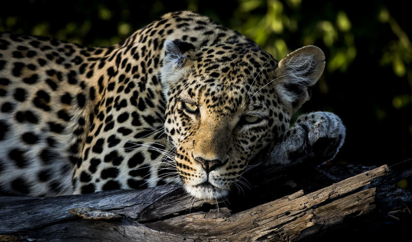 Pula is a resident leopard, recognisable by her torn ear