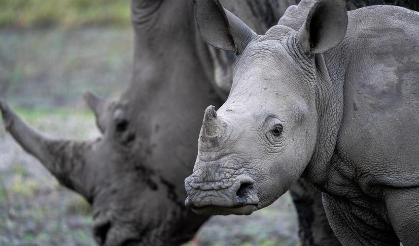 White rhino sighting