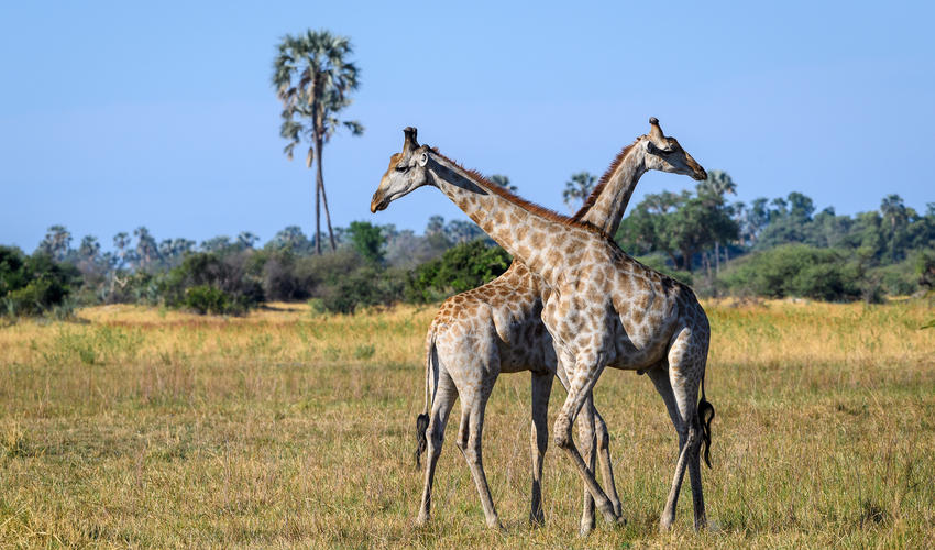 Amazing wildlife in every direction at Mombo