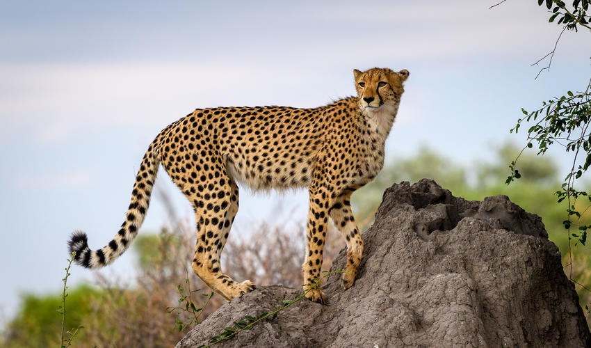 Cheetah have been seen regularly on the concession since 2017