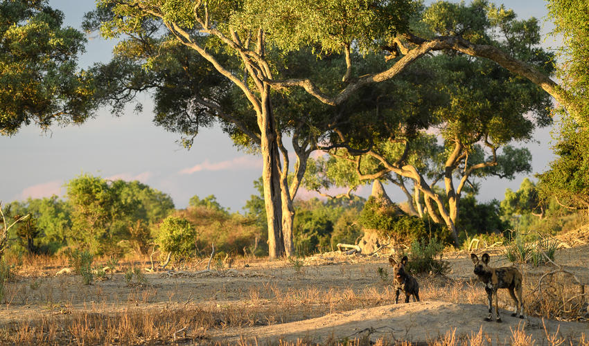 A healthy wild dog pack is often seen on the Mombo Concession