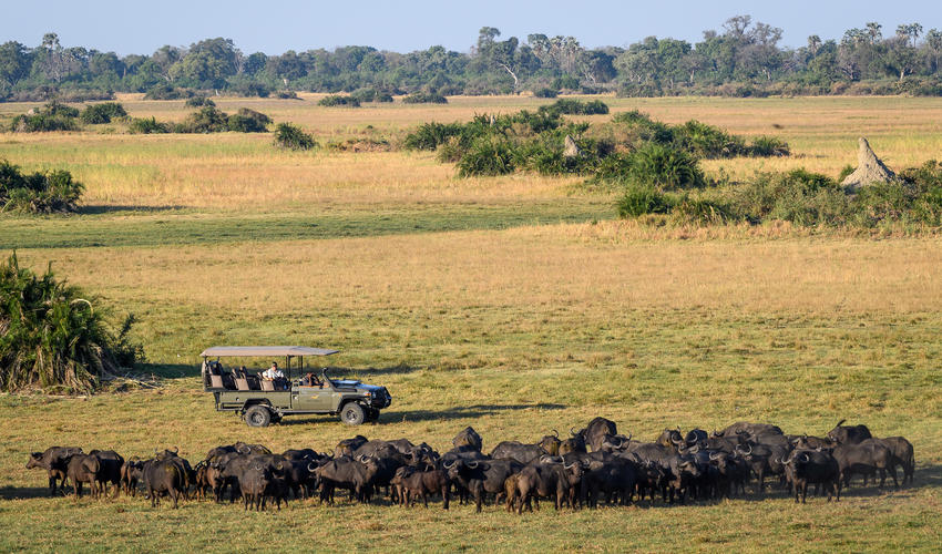 Buffalo are seen in impressive numbers on the Mombo Concession