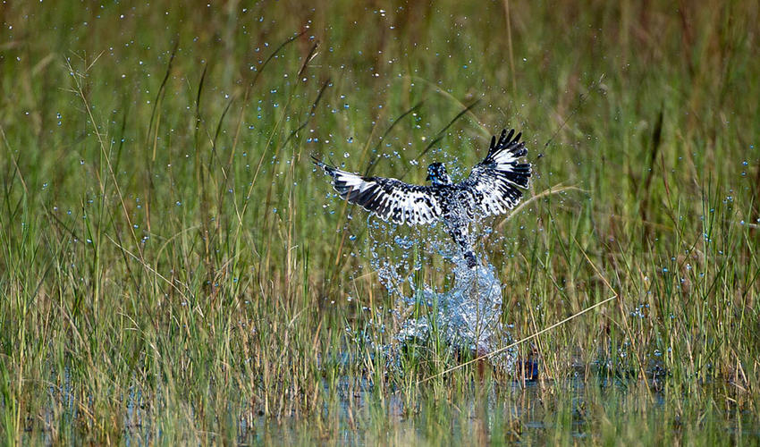 A pied kingfisher dives in
